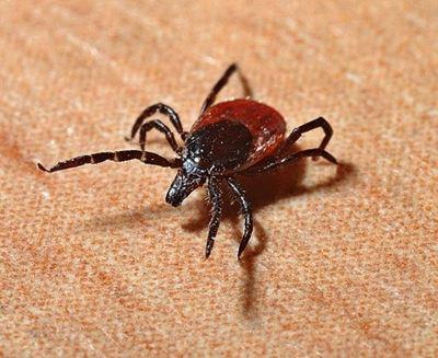 De ziekte van Lyme enteken